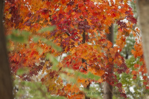 COLOR IN WHITE SNOW-Beautiful autumn color in Niseko
