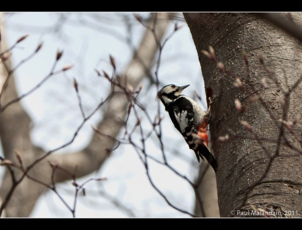 Great Spotted Woodpecker, (Akagera)