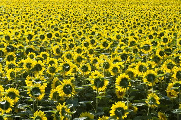 Sunflower Ocean