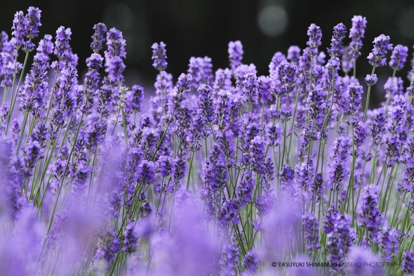 FURANO LAVENDER COLOUR 2011