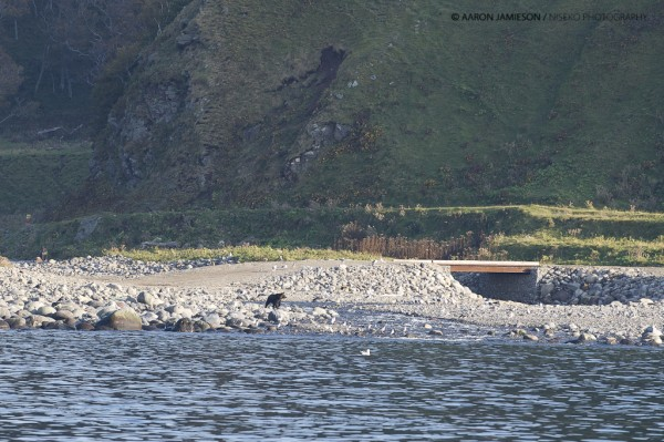 Bears scouting for salmon in the river mouth.