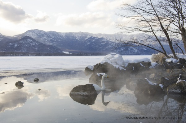 Hot onsen pouring into a frozen lake - a swan lapping up some warm water!